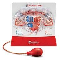 Learning Resources - Sablon inima - Pomparea sangelui