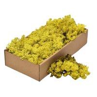 Licheni decorativi Cladonia Galben