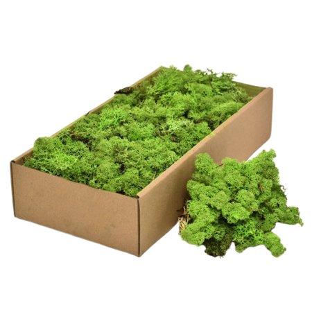 Licheni decorativi Cladonia verzi