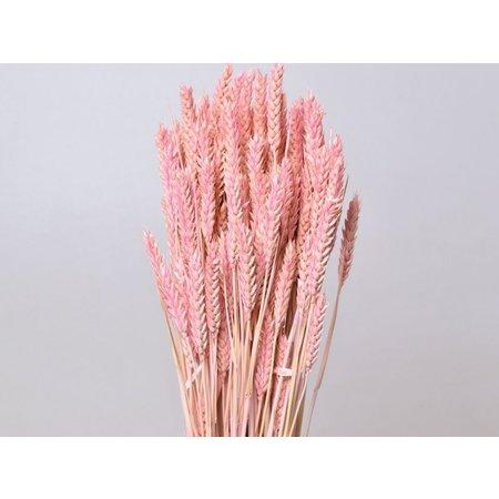 Triticum pastel pink